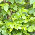 Отруйний плющ - небезпечна рослина