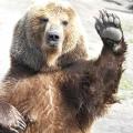 До чого сниться ведмідь? Це залежить від вас!