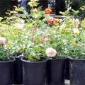Кімнатні троянди: пересадка рослини