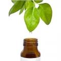 Олія чайного дерева і його лікувальний властивості