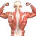 М'язи-антагоністи. Які м'язи належать до антагоністів, а які до синергистами?