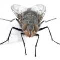 Настирливі «гості», або як позбутися мух?