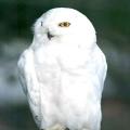 Полярна сова - красивий птах