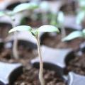 Посадка перцю на розсаду: три складових успіху