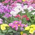 Примула садова - перший весняний радість в саду