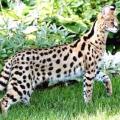 Найбільша кішка: рейтинг