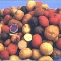 Сорти картоплі: які віддати перевагу?
