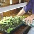 Вирощування баклажанів - захоплююче і вигідне заняття