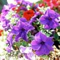 Вирощування петунії: рекомендації початківцям садівникам