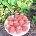 Суниця ремонтантна порадує стиглими ягодами все літо