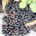 Чорна смородина: корисні властивості і використання в народній медицині