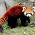 Мала панда: красива тварина, яке вимирає