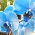 Орхідея: синя, блакитна, фіолетова. Які бувають і як за ними доглядати?